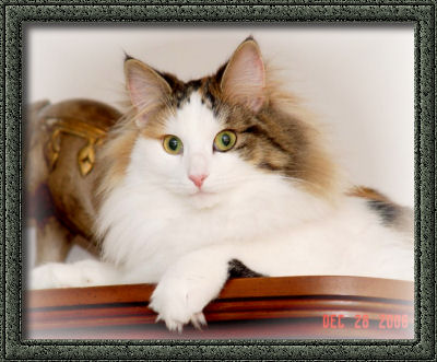 Norwegian Forest Cat Finnishline Gilda