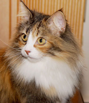 Norwegian Forest Cat - Fiona